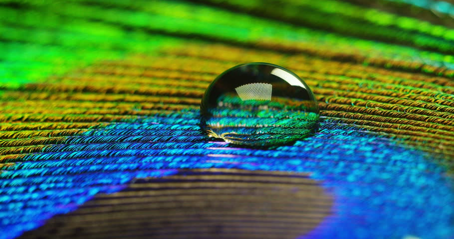 close up or macro of a colorful peacock feather with a drop resting on. The peacock feather full of colors and textures is elegant and decorated. Concept: color accuracy, colors of nature, rainbow. #22268986