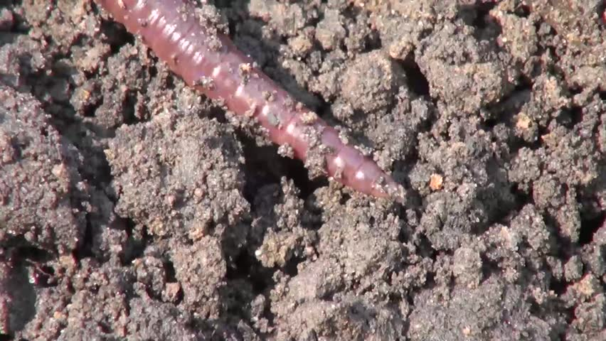 Earthworm crawls on the black earth on the farm