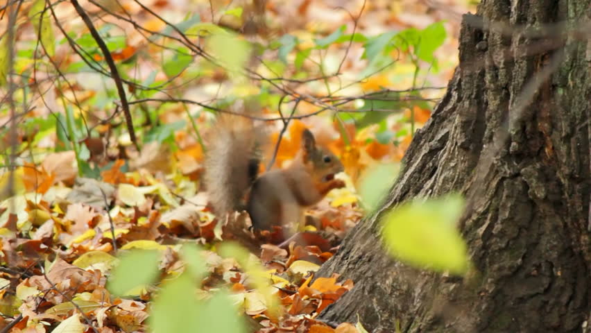 Squirrels frolic in the autumn forest, sequence #2245525