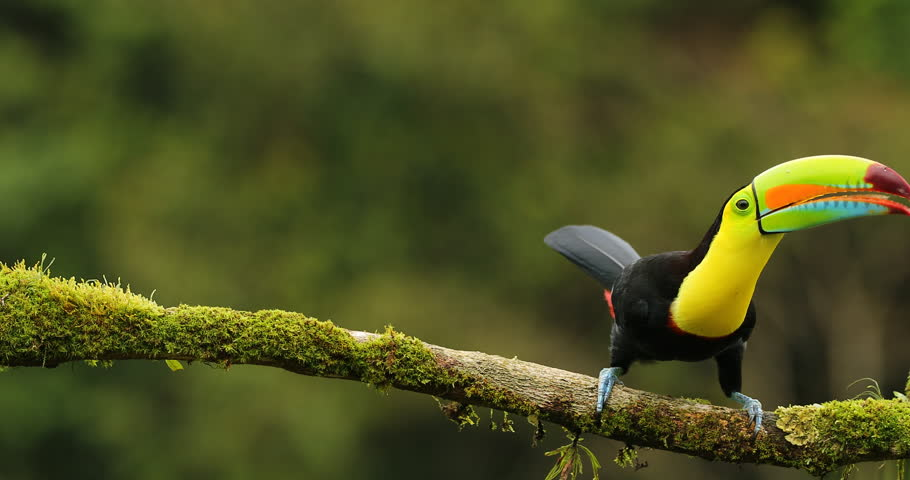Keel-billed Toucan, Ramphastos sulfuratus, sitting on the branch in the forest, Mexico. Bird with big bill. Wildlife scene from tropic nature. Birdwatching of Costa Rica, Central America.