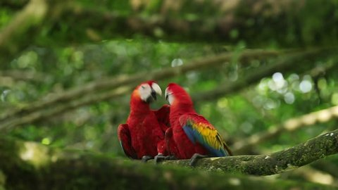 Parrot love, two red bird. Scarlet Macaw Ara macao in dark green tropical forest. Big red in the nature habitat, parrot hidden in the palm leaves. Bird in Costa Rica, Central America
