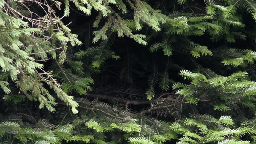 Header of silver fir