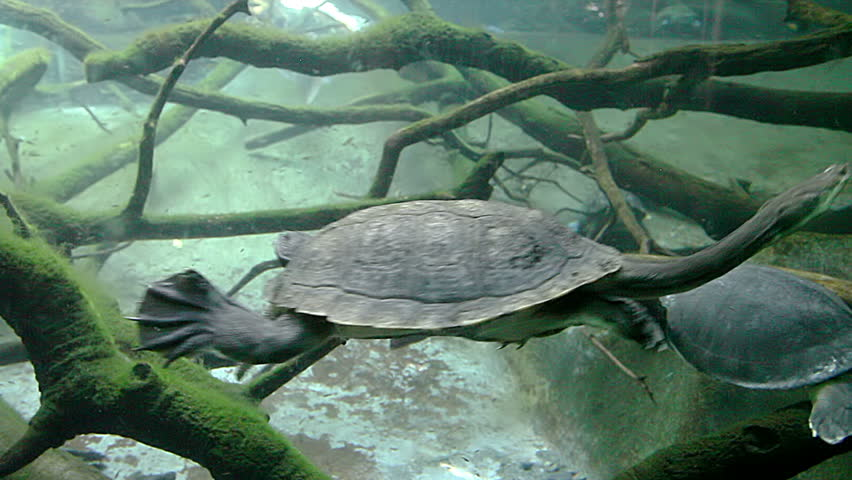 Snake-necked turtle swimming underwater