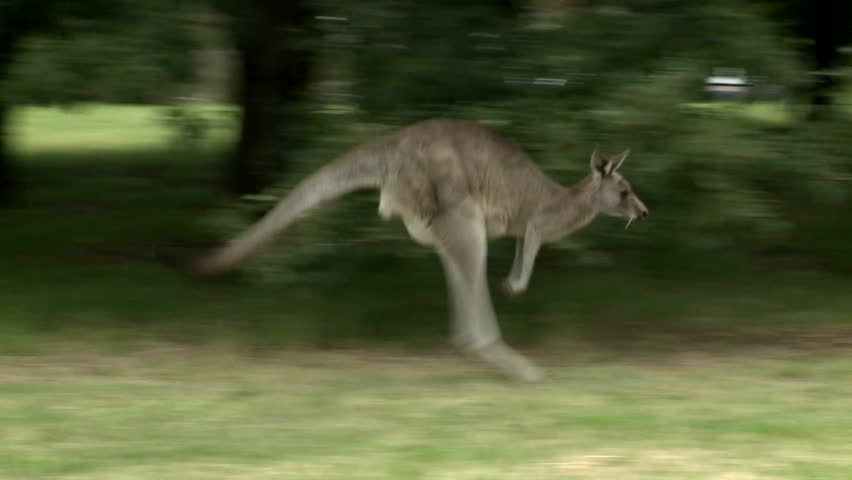Kangaroos in the park eating grass