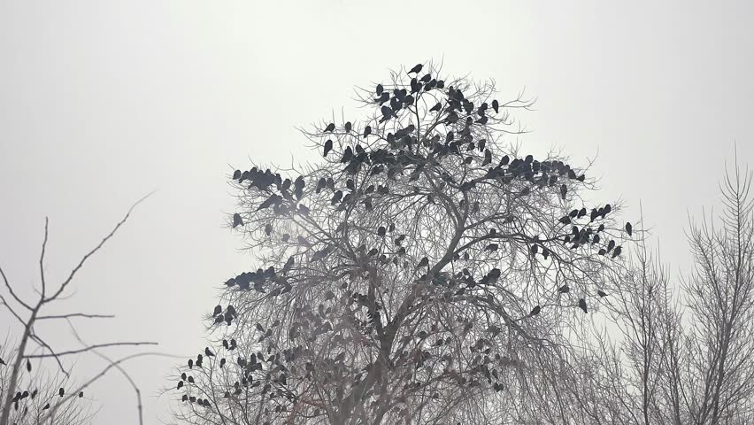Flock of birds taking off from a tree, a flock of crows black bird dry tree | Shutterstock HD Video #22580686