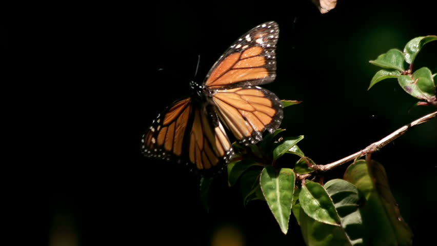 Monarch Butterfly Flies Off from Plant in Super Slow Motion