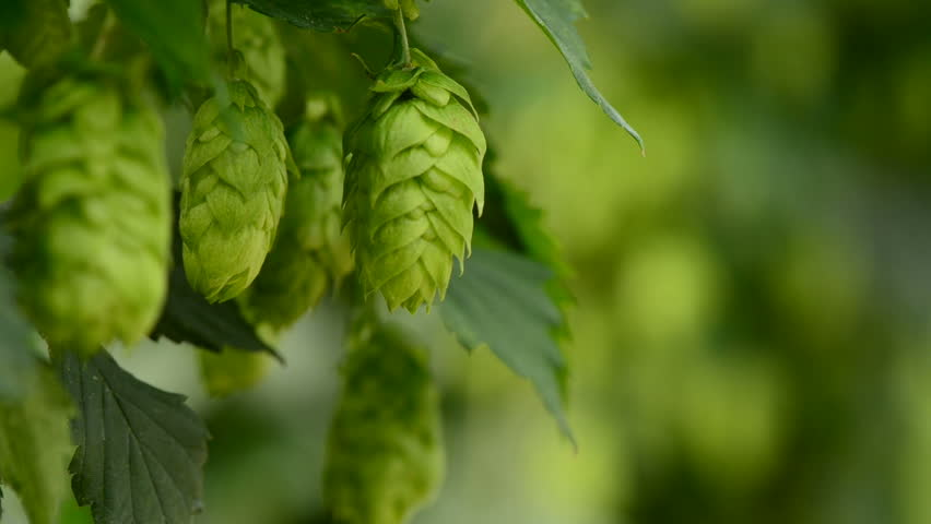 Closeup of ripe hop cones on the field, locked down real time video