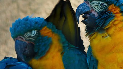 An ultra close-up shot of 3 cute blue-throated macaws - ara glaucogularis - playing with each other. This endangered species is native from Bolivia and about 350 to 400 individuals remain in the wild