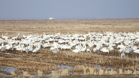 A Flock Of Whooper Swans and Tundra Swans On A Rice Field In Winter