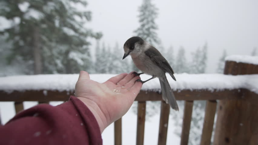Grey Jay eating out of human hand during snowfall