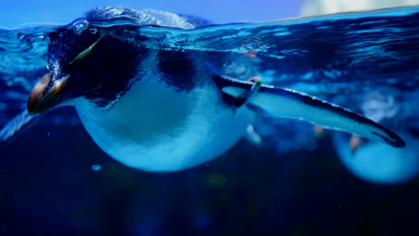 Baby king penguin swimming