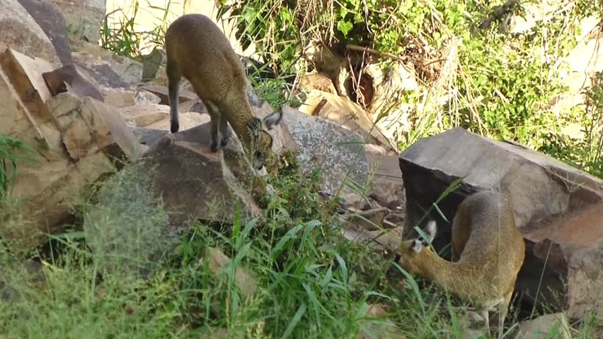 Two Klipspringer grazing at rocky slope, Kruger National Park, South Africa