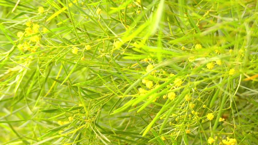 Acacia Iteaphylla Is Shrub Belonging Stock Footage Video 100