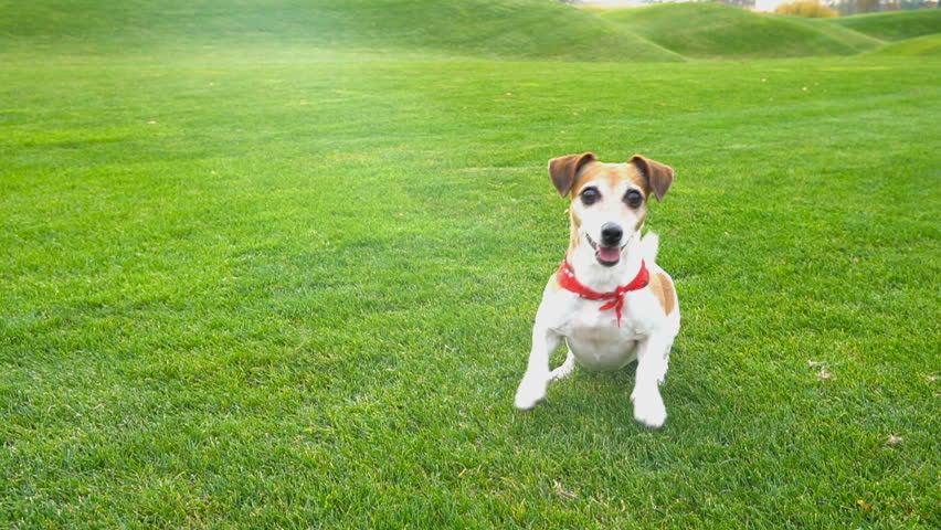 Adorable small dog Jack Russell terrier dancing  jumping want to  play. excited impatience. Active crazy friend pet running for the blue disk toy. seamless endless looped video #22953046