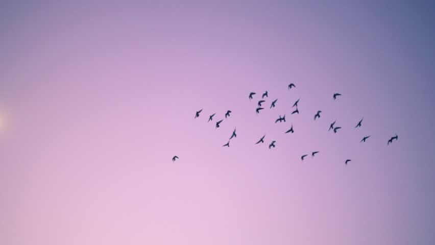 Flock of birds flying over pink sunset sky background. Slow motion.