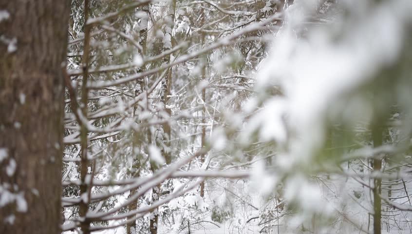 Landscape of winter forest.   Shutterstock HD Video #23078416