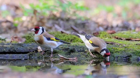 Goldfinch. Couple drinking water.