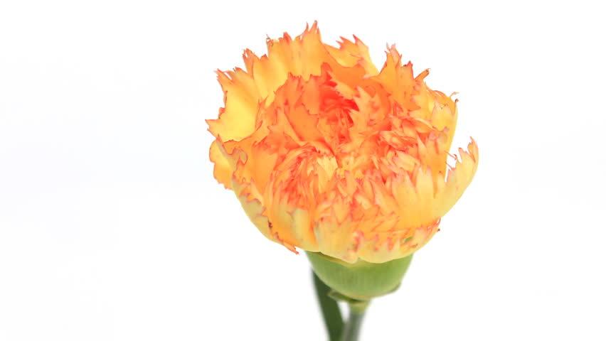 Carnation isolated on white background timelapse