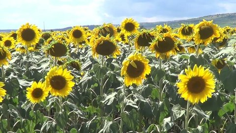 Field with sunflowers, recorded in Bulgaria