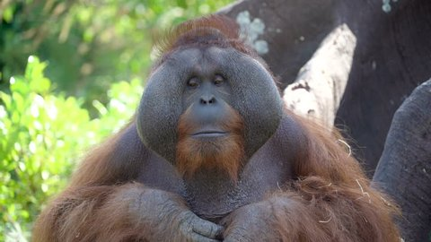 A big male Orangutan sitting solemnly looking around it has big head with brown hair on the head in Ireland