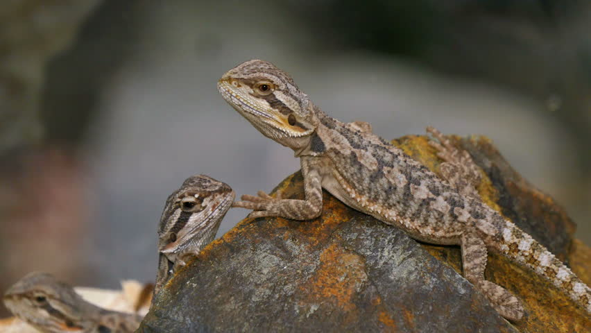 Pogona Reptile Couple  Pogona is Stock Footage Video (100% Royalty-free)  23150206 | Shutterstock