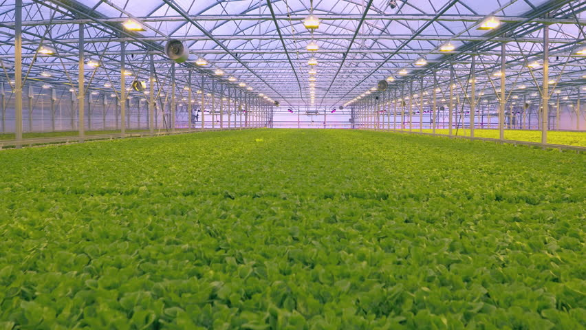 Aerial - Fresh organic lettuce growing in a greenhouse hydroponics | Shutterstock HD Video #23191978