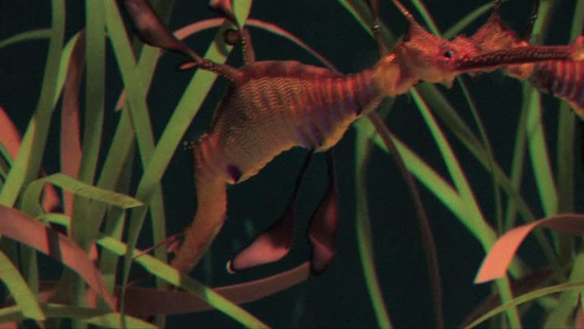 Sea horses in aquarium