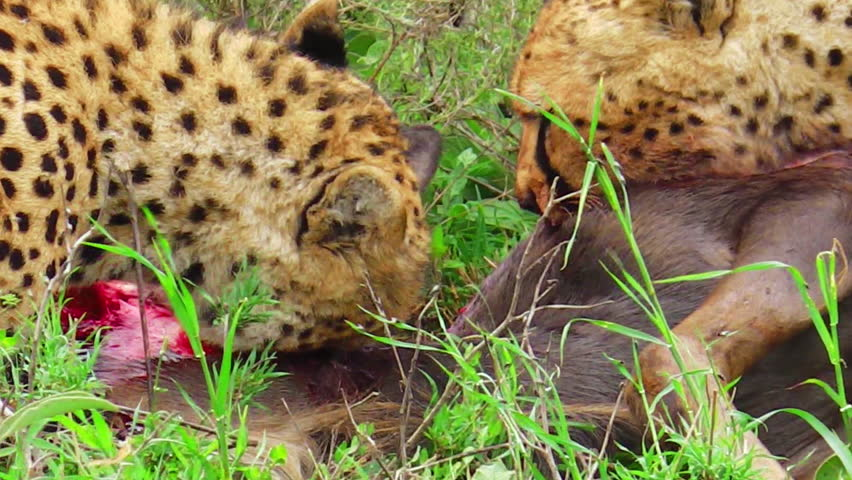 Cheetahs feeding with its prey meat on the grass in Tarangire National Park, Tanzania Africa. close up angle view. Binomial name Acinonyx jubatus.