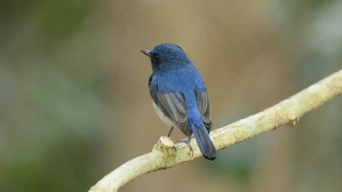 Hainan blue flycatcher (Cyornis hainanus) perching on the branch showing its nice back feathers