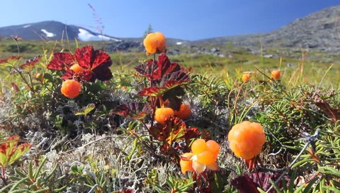 Cloudberry in the mountains. Urals, July. View to the top.