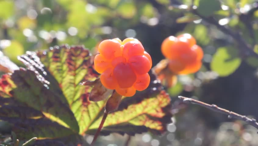 Cloudberry in the mountains. Urals, July. Alone.