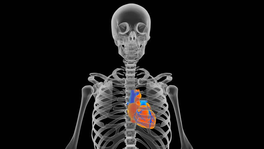 Thumb Skeleton Diagram Toyskids