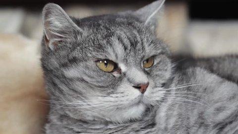 Video Stock A Tema Cu Td British Shorthair Kitten 100 Royalty Free