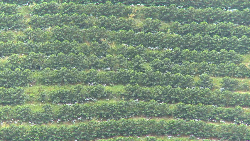 coffee plantation in South America zoom