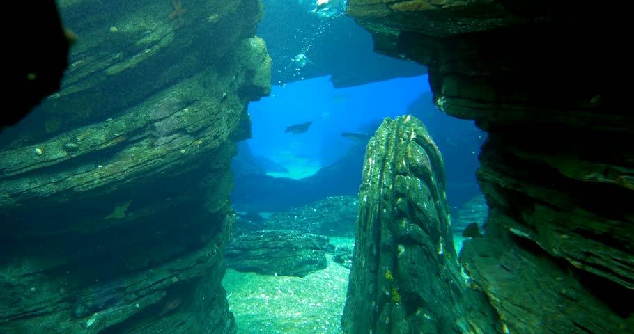 Magellanic Penguins Swimming Through A Crevice - Spheniscus Magellanicus