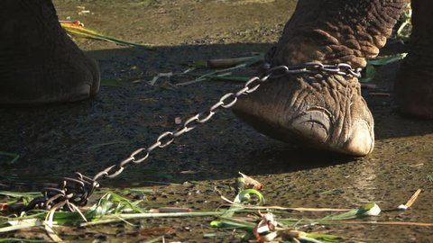 Leg and foot of a captive elephant. straining against the chain that binds him at a tourist business in Southeast Asia.