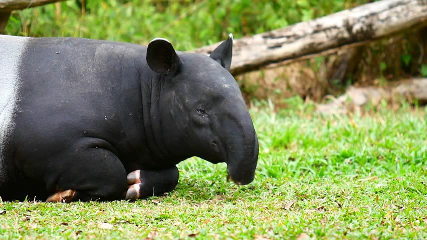 Header of tapir
