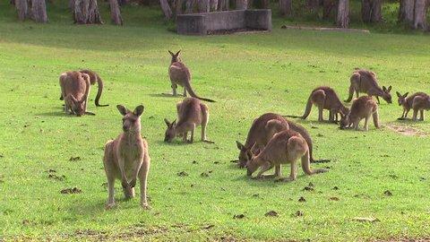 Kangaroo - native Australian marsupial