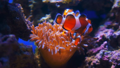 Exotic tropical Clownfish in blue water of aquarium. Shot in motion. Shallow depth of field