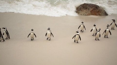 African penguins (Spheniscus demersus) on the beach and swimming at Boulder Beach, Cape Town