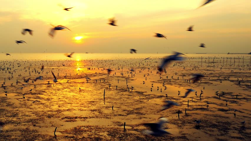 Beautiful group of seagulls flees cold weather to Thailand every year. Scene take in nature with water and bright sky at sunset time  | Shutterstock HD Video #23701306