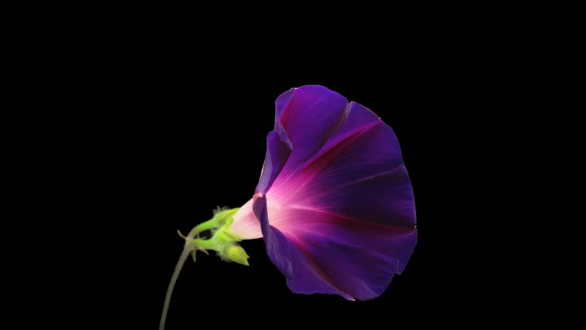 Purple ipomea flower blooming on black background timelapse