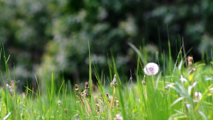 bright green brass, dandelions and other field flowers move under summer breeze