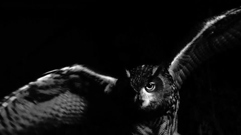 Closeup of eagle owl flapping its wings in the scary night. Black and white shot. Fear.