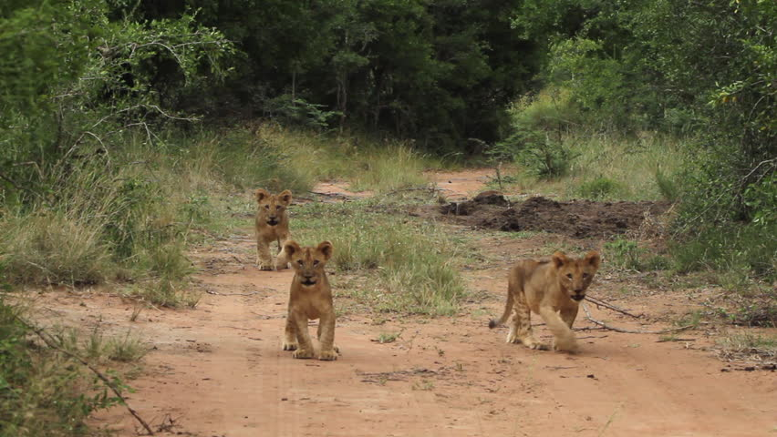 Mother lioness walking with her three young cubs.