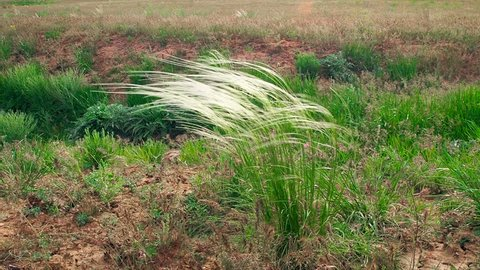 Stipa feather grass needle grass spear grass steppe meadow wind Astrakhan