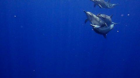 Pod of Spinner dolphins  Swimming at surface  Kona Hawaii  USA