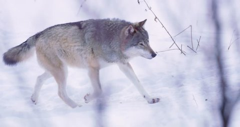 Alpha wolf patrolling pack territory alone