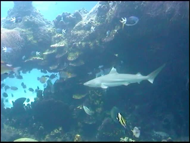 Blacktip Reef Shark swims through tropical fish, including Moorish Idol.
