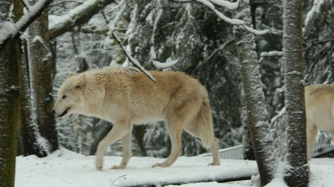 Gray Wolves In Winter Snow